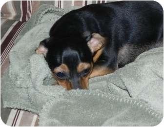 Chihuahua/Dachshund Mix Dog for adoption in Salem, New Hampshire - Bugga Bugga