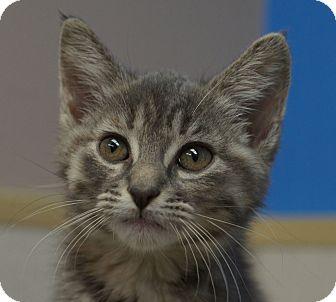 Domestic Mediumhair Kitten for adoption in Naperville, Illinois - Misty