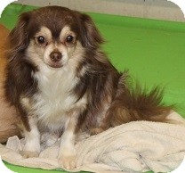 Chihuahua/Tibetan Spaniel Mix Dog for adoption in House Springs, Missouri - Buster 2