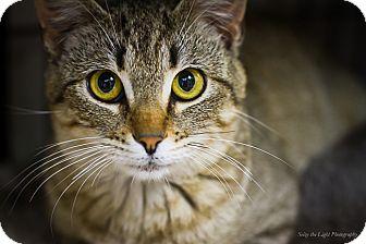 Domestic Shorthair Cat for adoption in Bulverde, Texas - Herbie