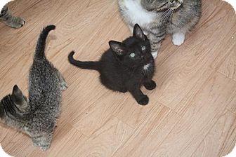 Domestic Shorthair Kitten for adoption in St. Louis, Missouri - Flynn