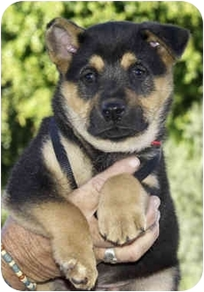 German Shepherd Dog/Rottweiler Mix Puppy for adoption in Marina del Rey, California - Aaron