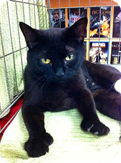 Domestic Shorthair Cat for adoption in Somerset, Pennsylvania - Pickles