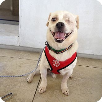 Beagle/Pug Mix Dog for adoption in Los Angeles, California - Rascal