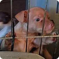 Adopt A Pet :: BamBam - Columbus, OH
