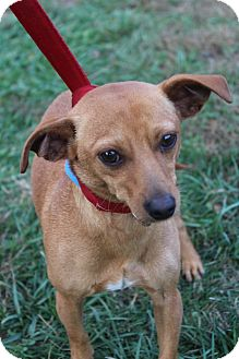 Chihuahua Mix Puppy for adoption in Waldorf, Maryland - Red