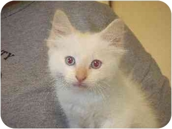 Domestic Longhair Kitten for adoption in Mason City, Iowa - Ollie