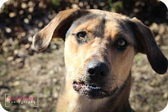 Catahoula Leopard Dog Dog for adoption in Lavon, Texas - Abby