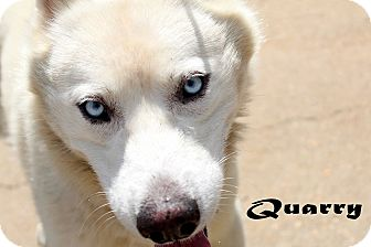 Samoyed/Husky Mix Dog for adoption in Texarkana, Arkansas - Quarry