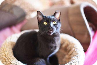 Domestic Shorthair Cat for adoption in Xenia, Ohio - Lewis