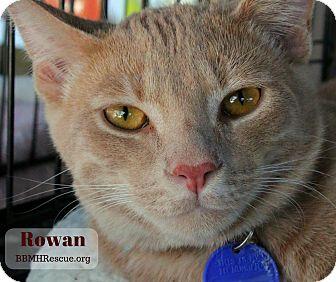 Domestic Shorthair Kitten for adoption in Temecula, California - Rowan