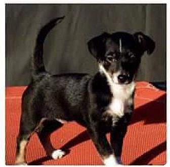 Chihuahua Mix Puppy for adoption in Hazlet, New Jersey - Madison