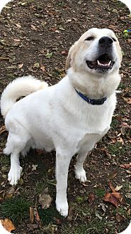 Great Pyrenees Mix Dog for adoption in South Park, Pennsylvania - Bentley