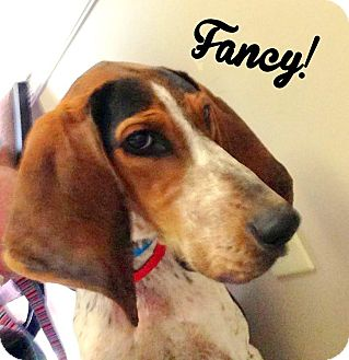 Bluetick Coonhound Mix Dog for adoption in FOSTER, Rhode Island - Fancy