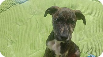 Pit Bull Terrier Mix Puppy for adoption in Forest Hill, Maryland - Ron