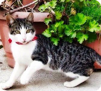Domestic Shorthair Kitten for adoption in Santa Monica, California - PIERRE