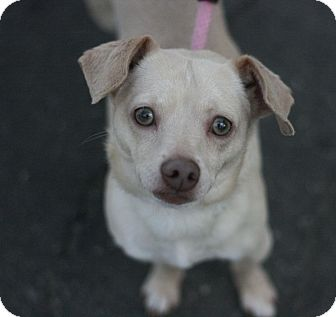 Terrier (Unknown Type, Small) Mix Dog for adoption in Canoga Park, California - Tori