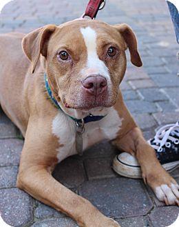 Pit Bull Terrier/American Pit Bull Terrier Mix Dog for adoption in Atlanta, Georgia - Brady