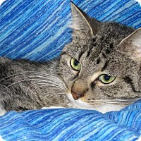 Domestic Shorthair Cat for adoption in Detroit, Michigan - Cupcake