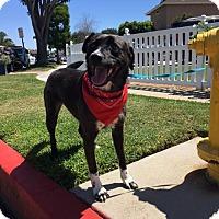 Adopt A Pet :: Ninja - Newport Beach, CA