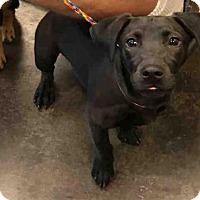 Adopt A Pet :: A029726 - Norman, OK