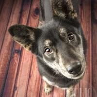 Adopt A Pet :: Eppie (Eponine) - Waco, TX