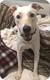 Labrador Retriever Mix Dog for adoption in East Hartford, Connecticut - Ace II in CT