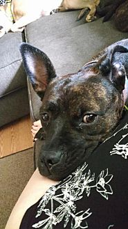 Pit Bull Terrier/Shepherd (Unknown Type) Mix Dog for adoption in New York, New York - Spring