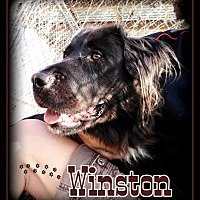 Adopt A Pet :: Winston - Hartford City, IN