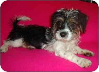 Shih Tzu Mix Dog for adoption in Spring Valley, New York - Boomer