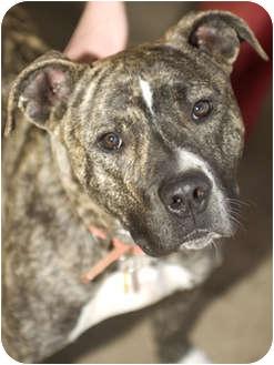 Pit Bull Terrier Mix Dog for adoption in Tangent, Oregon - Mack