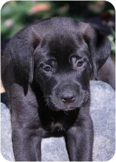Mastiff/Boxer Mix Puppy for adoption in Westminster, Colorado - WAZOWSKI