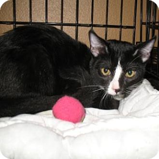 Domestic Shorthair Kitten for adoption in Tucson, Arizona - Ace