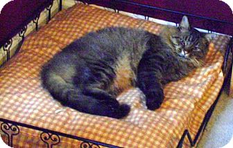 Maine Coon Cat for adoption in Concord, North Carolina - Jeremy