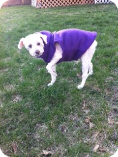 Poodle (Miniature)/Maltese Mix Dog for adoption in Essex Junction, Vermont - Lilly