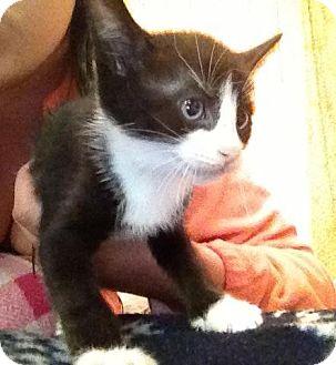 Domestic Shorthair Kitten for adoption in Tillamook, Oregon - Spaz