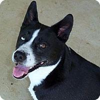 Border Collie/Labrador Retriever Mix Dog for adoption in Houston, Texas - Lucy