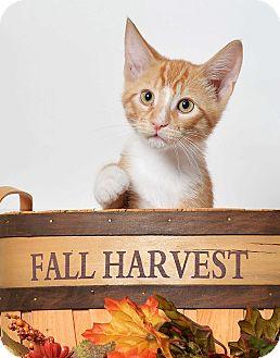 Domestic Shorthair Cat for adoption in El Dorado Hills, California - Toby (Tobiko)