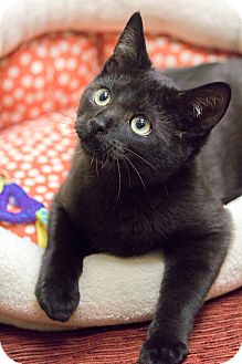 Domestic Shorthair Cat for adoption in Chicago, Illinois - Ralphie