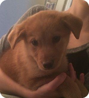 Labrador Retriever/Golden Retriever Mix Puppy for adoption in Bryan, Texas - Shayla