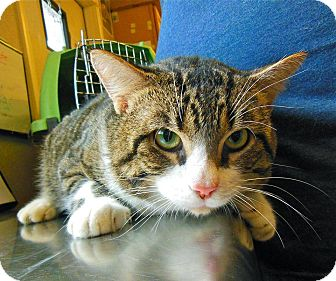 Domestic Shorthair Cat for adoption in St. Francisville, Louisiana - Moose