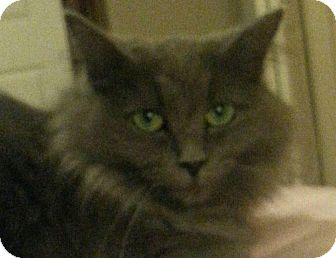 Maine Coon Cat for adoption in Nashville, Tennessee - Lavonne