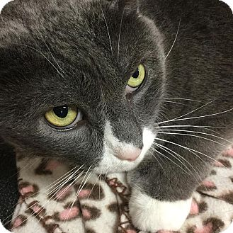 Domestic Shorthair Cat for adoption in Webster, Massachusetts - Butch