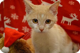 Domestic Shorthair Kitten for adoption in Lake Orion, Michigan - Carl