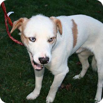 Feist/Husky Mix Dog for adoption in London, Ontario - Kasey