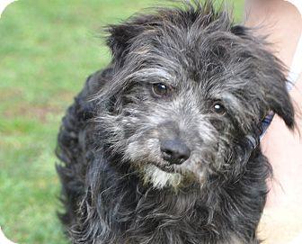 Terrier (Unknown Type, Small)/Schnauzer (Miniature) Mix Dog for adoption in Tumwater, Washington - Athena