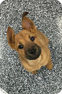 Shepherd (Unknown Type) Mix Puppy for adoption in Tucson, Arizona - Elisa
