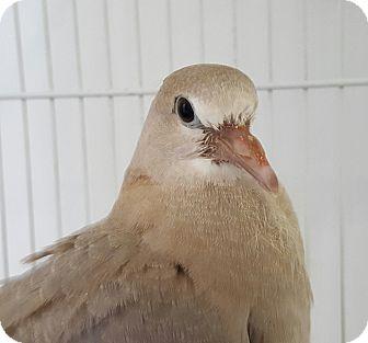 Dove for adoption in Grandview, Missouri - Olivia