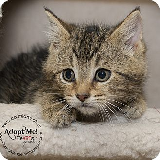 Domestic Shorthair Kitten for adoption in Troy, Ohio - Monica