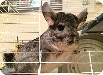 Chinchilla for adoption in Granby, Connecticut - Frankie & Simone